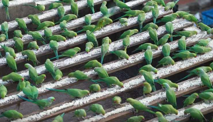 A Man Who Feeds 4000 Parrots Daily Without Any Leave