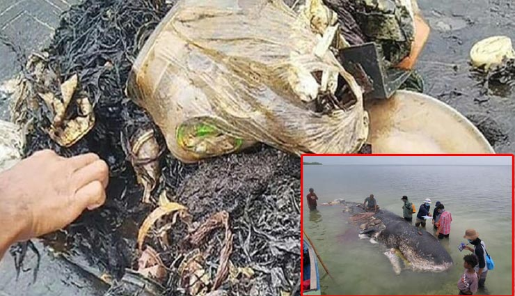इंडोनेशिया में मरी मिली व्हेल, पेट से निकले प्लास्टिक बैग, बोतलें, सैंडल और प्लास्टिक के 115 कप