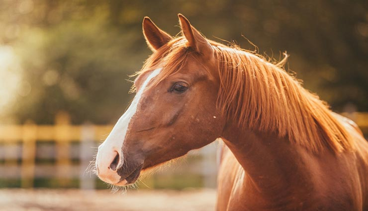 interesting facts,amazing facts,interesting facts of horse,amazing facts of horse,horse related facts ,घोड़ा, घोड़े के फैक्ट्स, रोचक तथ्य, मजेदार तथ्य, घोड़े से जुड़ी रोचक जानकारी