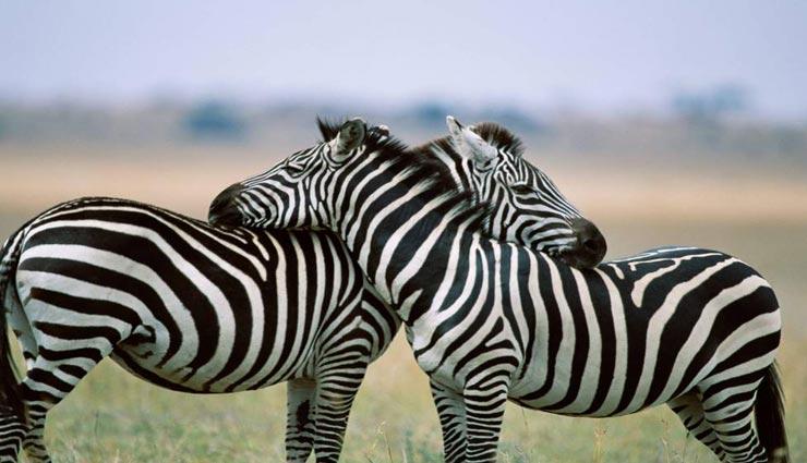 interesting facts,amazing facts,facts about zebra,zebra ,रोचक तथ्य, मजेदार तथ्य, जेबरा, जेबरा से जुड़े तथ्य