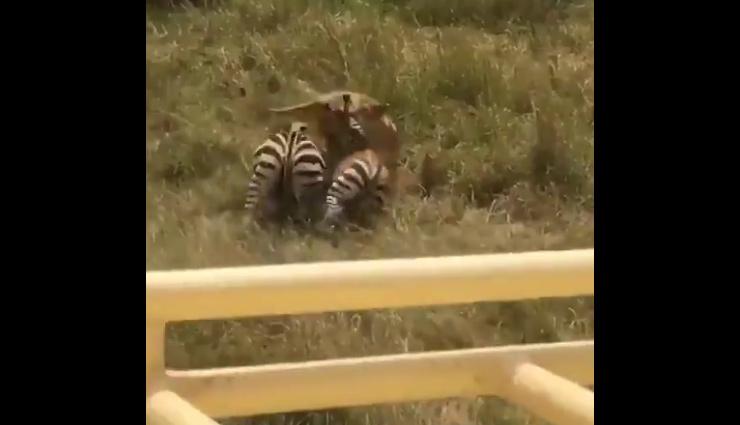अपने बच्चे की जान बचाने के लिए शेर से भिड़ गई जेबरा की मां, फिर जो हुआ देखे वीडियो में...