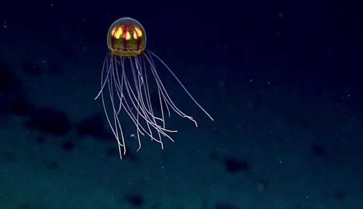 weird news,weird creature,mysterious creature,jellyfish ,अनोखी खबर, अनोखा जीव, जेलीफिश, अमरता का वरदान