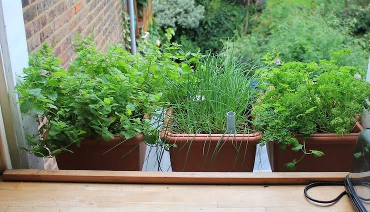 kitchen garden,kitchen plants,kitchen garden plants  for beginners,household tips,home decor tips ,किचन गार्डन, हाउसहोल्ड टिप्स, होम डेकोर, अपने किचन गार्डन को  सजाएं ये 5 पौधों से