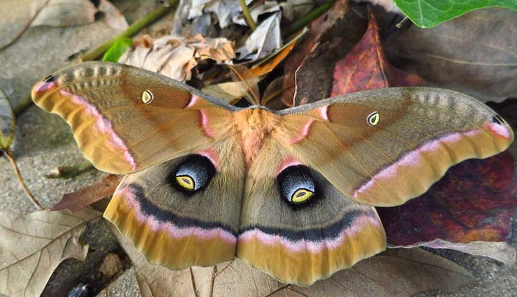 large species of moth,species of moth,species of moth to spot in india,india,atlas moth,indian moon moth,army green moth,assam silkmoth,indian tasar silkmoth