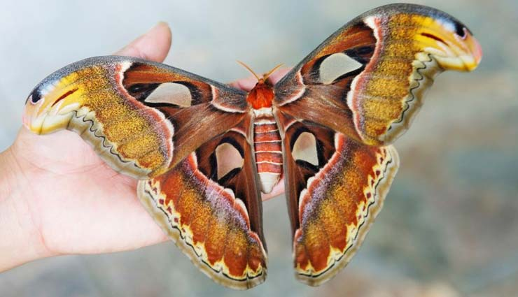 5 Large Species of Moth To Spot in India