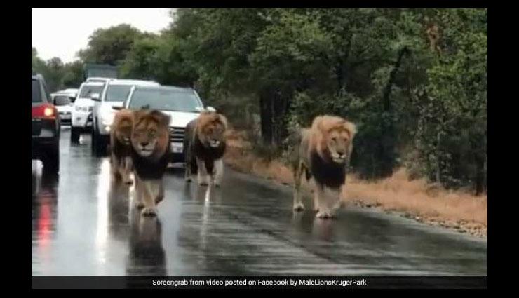 बड़ी शान से सड़क पर टहलते नजर आए चार शेर, थम गई लोगों की सांसे, वीडियो हुआ वायरल