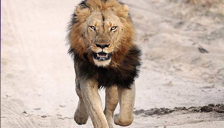 अपने काम के बकाया पैसे लेने गया था इलेक्ट्रिशियन, पीछे छोड़ दिया शेर, मिले जख्म