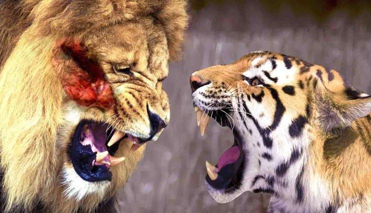 शेर और बाघ के ये अंतर चौकाने वाले, शायद ही जानते होंगे आप इनके बारे में