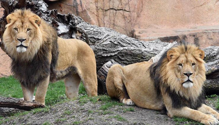हैदराबाद के चिड़ियाघर में पहुंचा कोरोना, 8 शेर हुए संक्रमित!