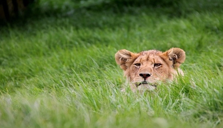 Video- A lion eating grass surprises netizens, breaks a myth