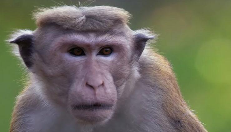 coronavirus,monkey b virus,about monkey b virus,what is monkey b virus,symptoms of monkey b virus,china