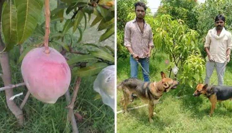 7 अनोखे आम जिनकी सुरक्षा में 24 घंटे तैनात रहते हैं 4 गार्ड और 6 खतरनाक कुत्ते