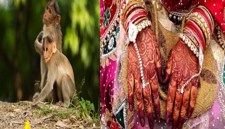 weird story,bihar,ratanpur,monkeys,monkeys caused,girls marriage ,बिहार, रतनपुर, बन्दर, बन्दर बनता है कारण, लडकियों की शादी