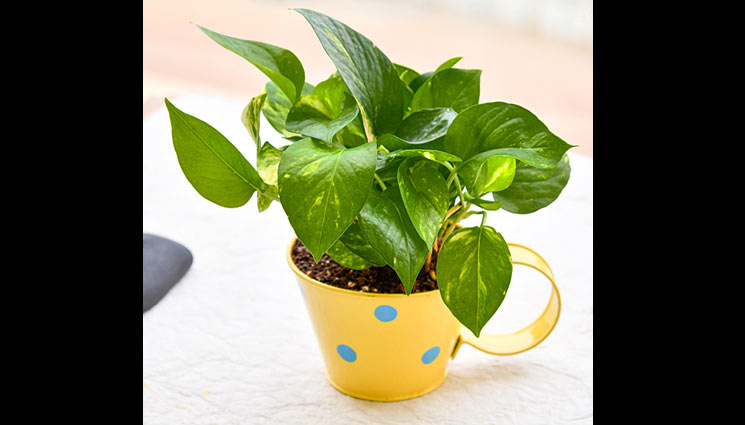 5 Vastu Tips To Follow For Money Plant To Attract Money ...