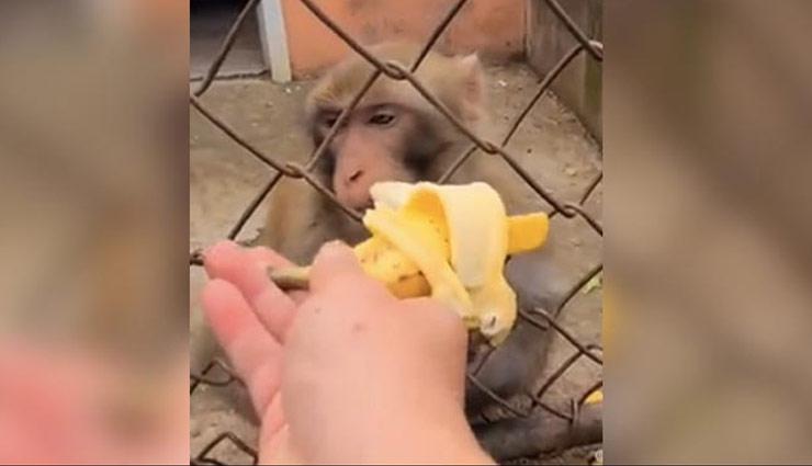बंदर को जबरदस्ती केला खिलाना भारी पड़ा इस  शख्स को, मारा एक ज़ोरदार पंच; देखें वायरल वीडियो