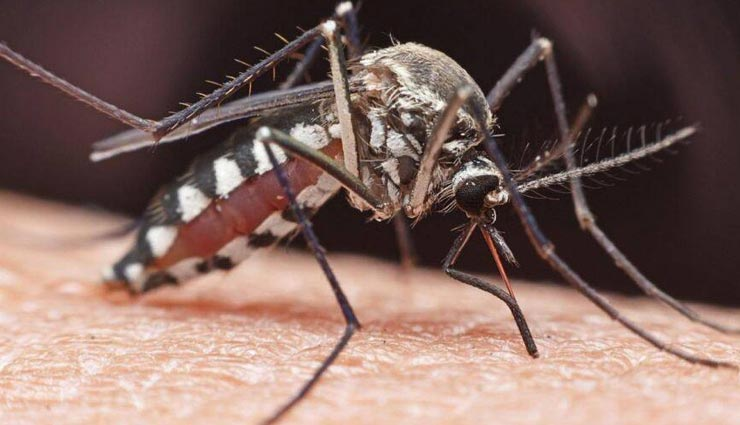 मच्छर उन लोगों की तरफ ज्यादा आकर्षित होते है जिन्होनें अभी केला खाया हो, जानें इनसे जुड़े रोचक तथ्यों के बारे में