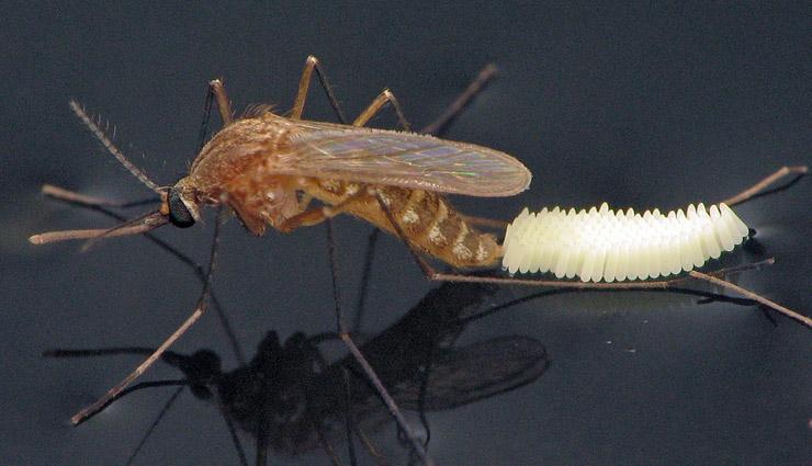 अपने घर से मच्छरों को करें विदा इन उपायों की मदद से