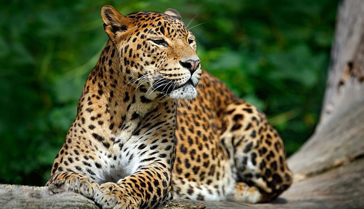 asiatic lion,indian leopard,sloth bear,striped hyena,indian hedgehog,species of nocturnal animals,nocturnal animals in india,india