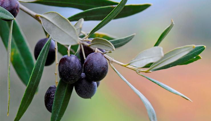 drink olive leaves kadha to control blood sugar,benefits of olive leaves kadha,home remedies to control diabetes,food to eat to control diabetes,sugar level , जैतून के पत्ते का काढा, जैतून के पत्ते का काढा डाइबिटीज में है बहुत फायदेमंद