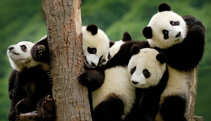 10 Weird and Interesting Facts About Pandas