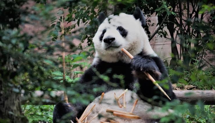 pandas,weird facts about pandas,interesting facts about pandas,facts