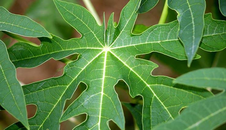 6 healthy benefits to chewing papaya leaf,papa leaf benefits,healthy benefits in hindi,papeete ke patto ke gunkari fayde