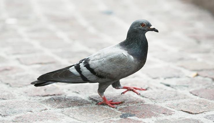 अनोखा मामला जहां एक कबूतर के खिलाफ दर्ज की गई एफआईआर, कारण कर देगा हैरान