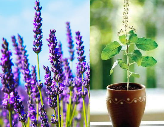 5 Plants To Help You Get Rid of Mosquitoes