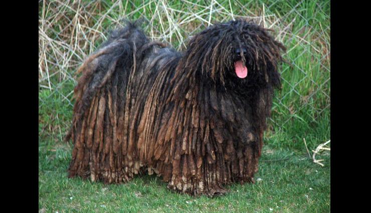 most weird dog breeds in the world,weird dog breeds in the world,dog breeds,unique dog breeds in the world,puli,peruvian inca orchid,chinese crested,neapolitan mastiff,catahoula leopard dog