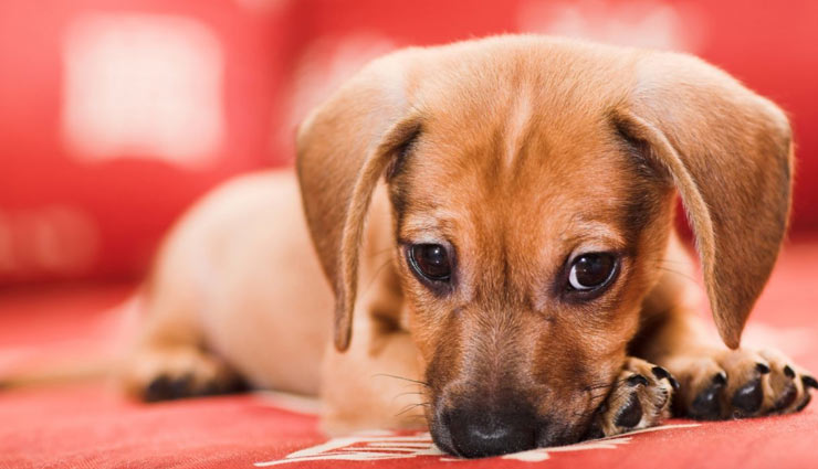 archie the arsonist,puppy accidentally sets couch on fire