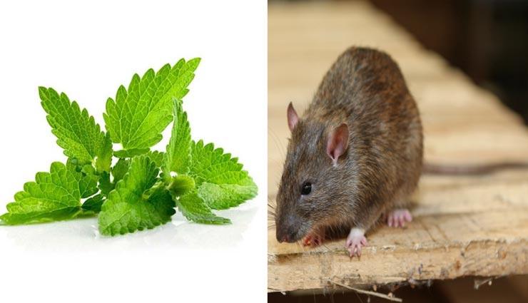 rats,remedies to get rid of rats,home remedies,home tips ,चूहों का आतंक, चूहों से निजात के उपाय, घरेलू उपाय, चूहों से मुक्ति पाने के उपाय