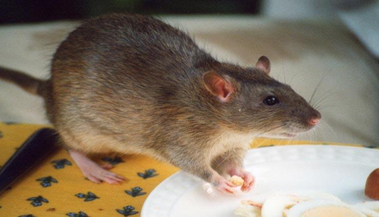 बारिश के दिनों में फैलता है चूहों का आतंक, इन्हें घर से दूर भगाने के लिए अपनाए ये उपाय