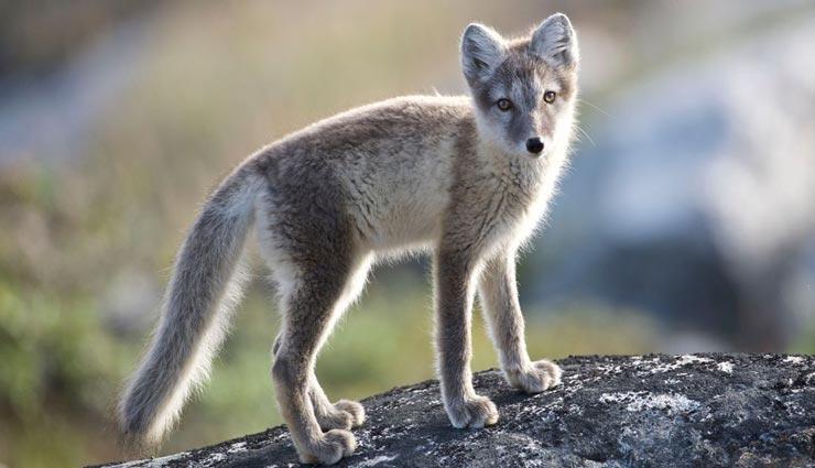 fox,fox records,weird record,shocked information ,लोमड़ी, लोमड़ी का रिकार्ड, अनोखा रिकॉर्ड, हैरान करने वाली जानकारी