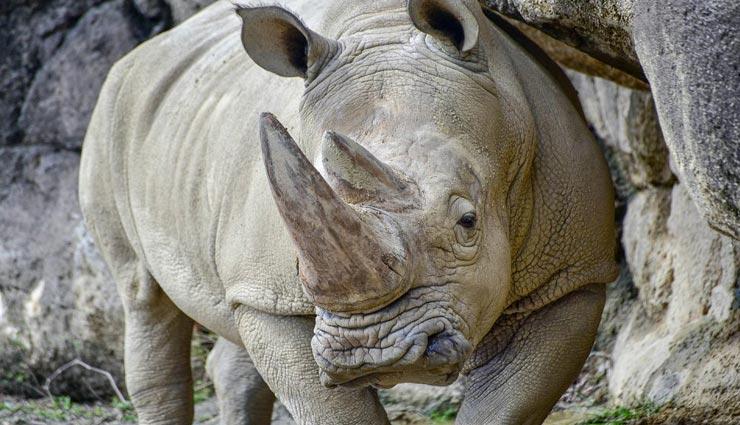 amazing facts,amazing facts of rhino,rhino facts,rhino ,रोचक तथ्य, गेंडे के रोचक तथ्य, गेंडा, गेंडे से जुड़े फैक्ट्स
