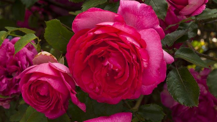 valentine week,rose day 2019 valentine week,rose day 2018 valentine week list benefits of rose hindi,health benefits of roses,health benefits,simple health tips ,वैलेंटाइन वीक,गुलाब से जुड़े फायदे,हेल्थ,हेल्थ टिप्स,रोज़ डे