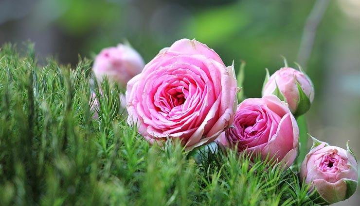 Happy Rose Day 2019: पार्टनर को देने से पहले जान ले गुलाब से जुड़े इन फायदों के बारे में...