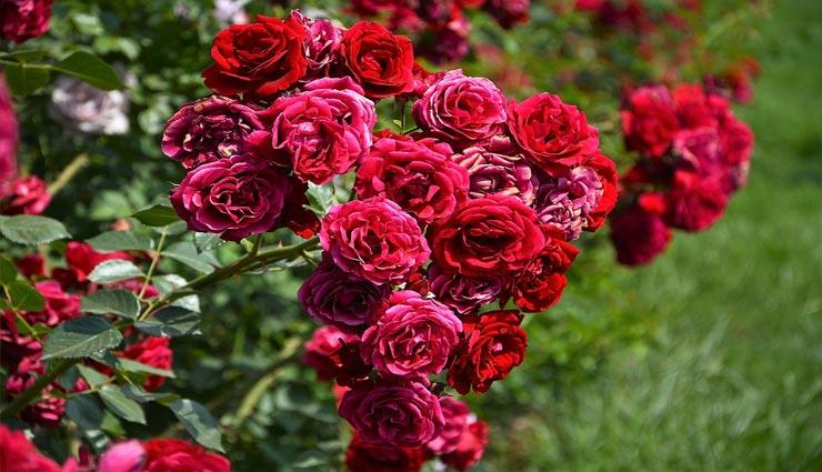 gardening tips,rose plant tips,home gardening tips,rose tips ,गार्डनिंग टिप्स, गुलाब के पौधे की देखभाल, गुलाब से जुड़े टिप्स, घर के गार्डन की देखभाल