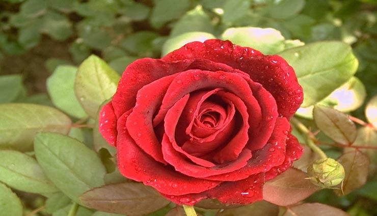 इस तरह करें गुलाब के पौधे की देखभाल, खूबसूरत दिखेगा आपका बगीचा