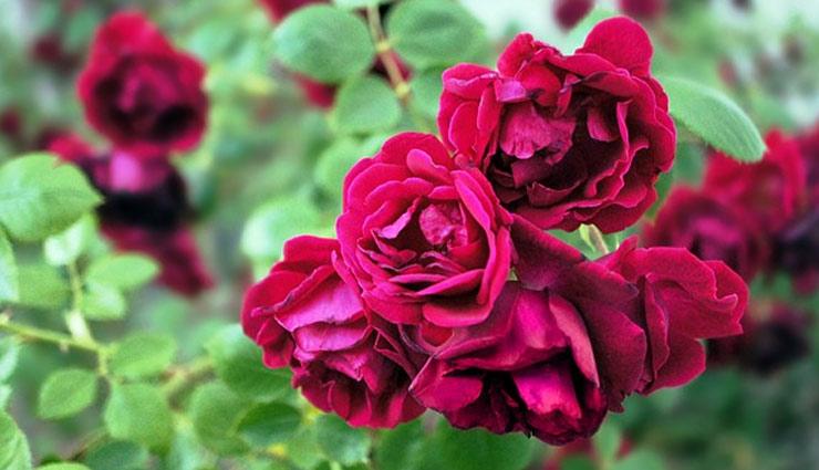 बगीचे में लगाया है गुलाब का पौधा, तो इसकी देखभाल में ले इन टिप्स की मदद