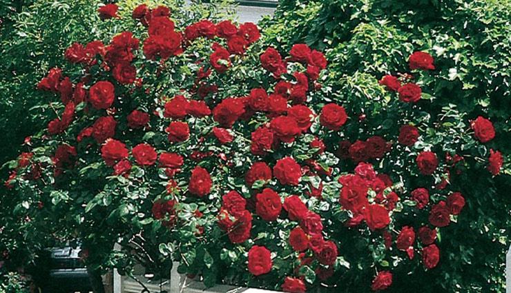 rose plant,take care of rose,rose plant,gardening tips,rose tips ,गुलाब का पौधा, गुलाब की देखभाल, बागवानी टिप्स