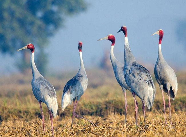 tallest flying bird,sarus crane,places to spot sarus crane in india,uttar pradesh,keoladeo national park,rajasthan,sultanpur national park,haryana,thol bird sanctuary,gujarat,pong dam,himachal pradesh