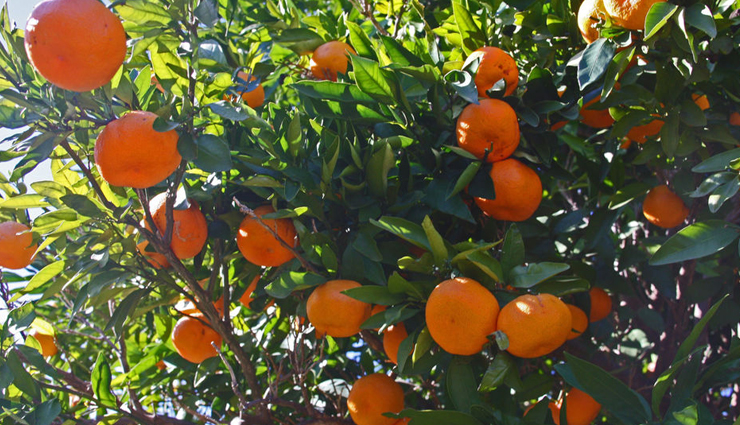satsuma,seedless fruit satsuma