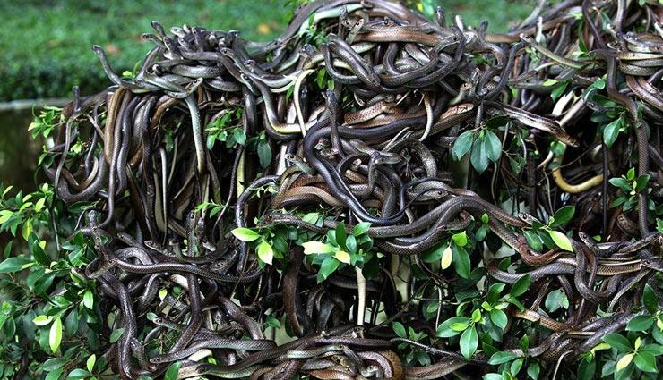 ilha de queimada grande,snake island,brazil ,जहरीले साप,अजब गजब खबरें