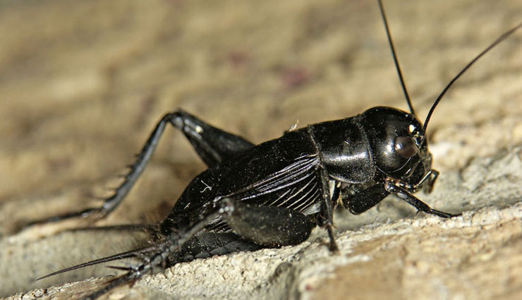 5 Species of Cricket Found in India