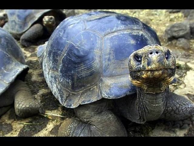 species of turtle,turtle,indian flapshell turtle,indian roofed turtle,assam roofed turtle,indian softshell turtle,red crowned roofed turtle