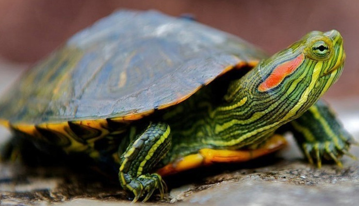 5 Rare Species of Turtle Found in India