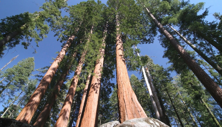 tallest trees,tallest trees around the world,coast redwood,coast douglas fir,mountain ash,giant sequoia,sitka spruce