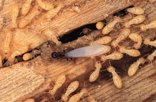get rid of termite,home remedies ,दीमक, दीमक के उपाय, घरेलू उपाय, दीमक से छुटकारा, दीमक का इलाज