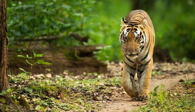आखिर क्यों किया इस टाइगर ने तीन सौ किमी का सफर, कई जंगल, गांव और सीमाएं करी पार