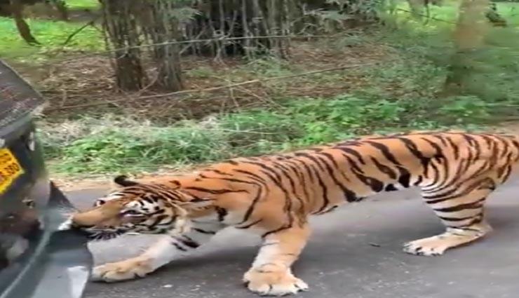 सोशल मीडिया पर वायरल हो रहा यह विडियो, बाघ ने दांतों से पकड़ खींची टूरिस्ट गाड़ी #VIDEO